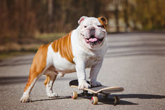 Engelse buldog op een skateboard Stock Afbeelding