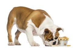 Engelse Buldogpuppy status, die van een komhoogtepunt eten Stock Afbeelding