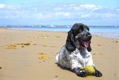 Engelse Cocker-spaniël op het strand Stock Foto's