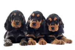 Engelse cocker van puppy stock foto's