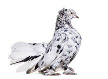 Engelse Fantail duif die zich tegen witte achtergrond bevinden stock afbeelding