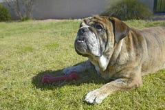 Engelse genoemde buldog Luka-het spelen in achtertuin in Tucson, AZ royalty-vrije stock afbeeldingen