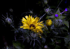 Engelse goudsbloem bij nacht Royalty-vrije Stock Foto's