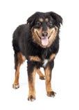 Engelse Herder Mixed Breed Dog Royalty-vrije Stock Afbeeldingen