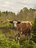 Engelse longhornkoe Stock Fotografie