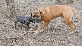 Engelse mastiff en het Franse buldog spelen stock video