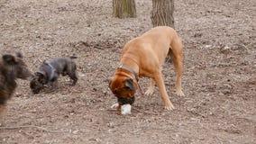 Engelse mastiff en het Franse buldog spelen stock footage