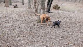 Engelse mastiff en het Franse buldog spelen stock videobeelden