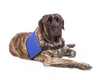Engelse Mastiffhond die de Dienstvest dragen Royalty-vrije Stock Fotografie