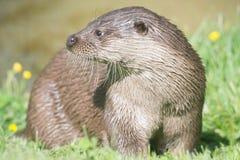 Engelse Otter royalty-vrije stock foto