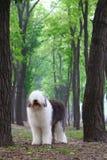 Engelse oude herdershond royalty-vrije stock afbeelding