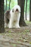 Engelse oude herdershond stock afbeelding
