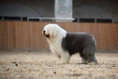 Engelse oude herdershond stock foto