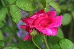 Engelse Rose Garden stock foto's