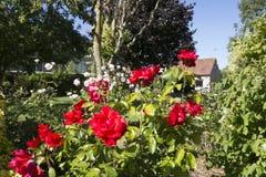 Engelse Rose Garden Royalty-vrije Stock Foto