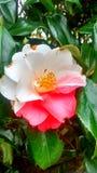 Engelse tuinbloem Royalty-vrije Stock Fotografie