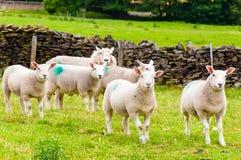 Engelse weidende schapen in platteland Stock Foto's