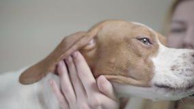 Engelse Wijzerhond in veterinaire kliniek Veterinaire vrouw die met strethoscope de mooie hond bekijken stock videobeelden