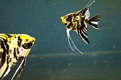 Engelsfische lizenzfreie stockfotos