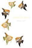 Engelsfische Lizenzfreies Stockfoto
