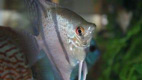 Engelsfische. Scalare stock video footage
