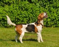 Engelsk beagle - avel av jakthundarna av hundkapplöpning Arkivbild