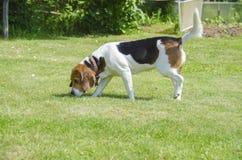 Engelsk beagle - går den blodiga hundkapplöpningen för jakt på slingan Royaltyfri Fotografi