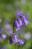 Engelsk blåklockagrov spik arkivbilder