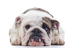 Engelsk bulldogg Royaltyfri Bild