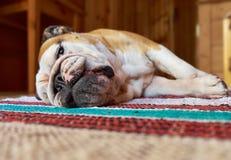 Engelsk bulldogg fotografering för bildbyråer