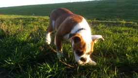 Engelsk bulldogg Royaltyfria Foton