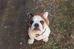 Engelsk bulldogg för valp som ser upp från botten Royaltyfria Bilder
