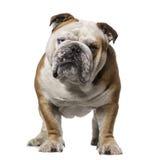 Engelsk bulldogg (3 gamla år) Arkivfoto