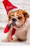 Engelsk bulldogg i den Santa Claus hatten royaltyfria foton