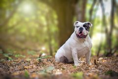 Engelsk bulldogg i skogen royaltyfri bild