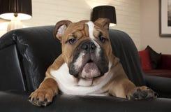 Engelsk bulldogg i vardagsrummet arkivbild