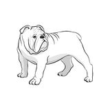 Engelsk bulldogg jakter labrador för bakgrundshundgräs sitter våt white Royaltyfri Bild