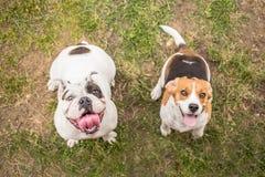 Engelsk bulldogg- och beaglehund royaltyfria foton