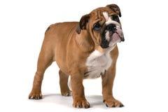 Engelsk bulldogg som från sidan står på vit bakgrund och framåtriktat ser royaltyfri fotografi