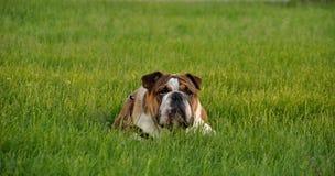 Engelsk bulldogg som vilar på gräset royaltyfri bild