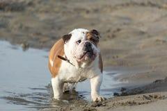 Engelsk bulldogg ut ur vattnet royaltyfria foton