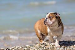 Engelsk bulldogg ut ur vattnet Arkivbilder