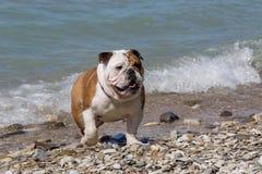 Engelsk bulldogg ut ur vattnet Royaltyfri Bild