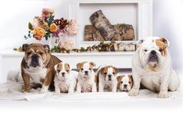 Engelsk bulldoggkull av valpar, mamman och farsan royaltyfri bild