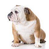 Engelsk bulldoggkvinnlig Arkivbilder