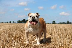 Engelsk bulldoggstående i solskenet royaltyfria bilder