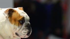 Engelsk bulldoggstående på en hundshow arkivfilmer