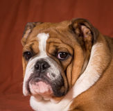 Engelsk bulldoggvalp Arkivfoton