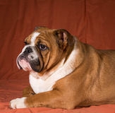 Engelsk bulldoggvalp Arkivfoto