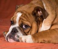 Engelsk bulldoggvalp Fotografering för Bildbyråer